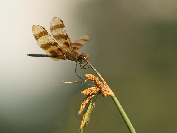 Halloween Pennant - by the Harlem Meer, Central Park