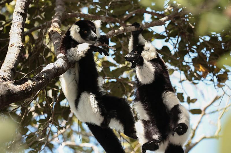 Black and White Lemurs