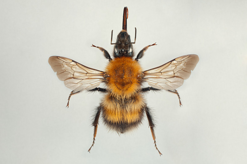Bombus consobrinus -dronning