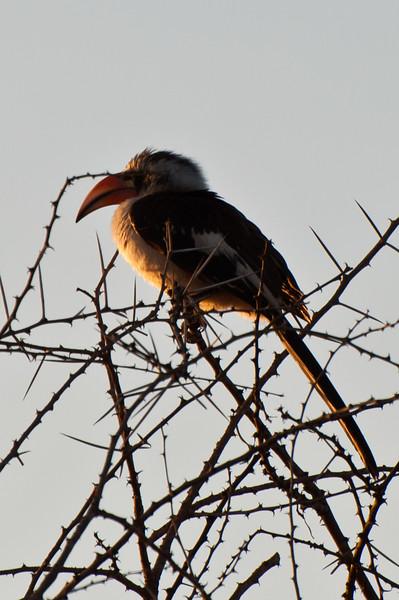 Hornbill in the morning