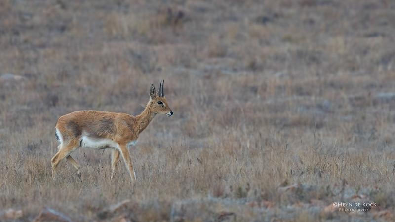 Oribi, Verloren Valei NR, Dullstroom, SA, Oct 2016-9.jpg