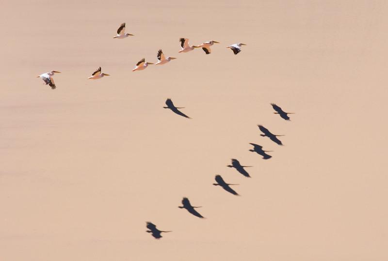 Flock of Pelicans fly accross Namib desert, Namibia
