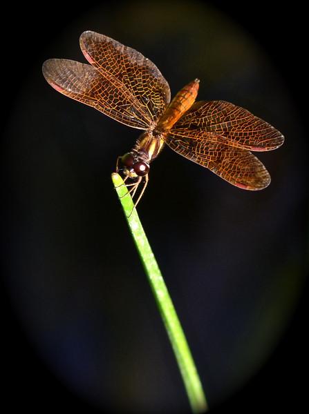 Tiny Dragonfly (Perithemis thais)