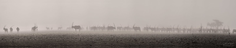 Arabian Oryx (76).jpg