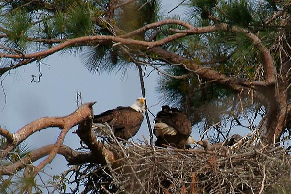 Baytown Eagle Chicks on 032310