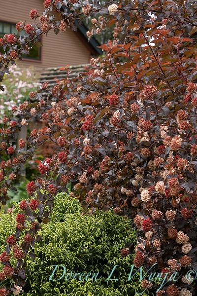 Physocarpus opulifolius 'Monlo'_6894.jpg