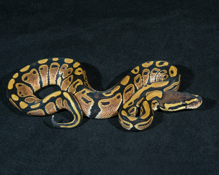 Het Albino F0414, sold, Scott