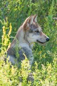 June 29, 2014 - Wolf Pups