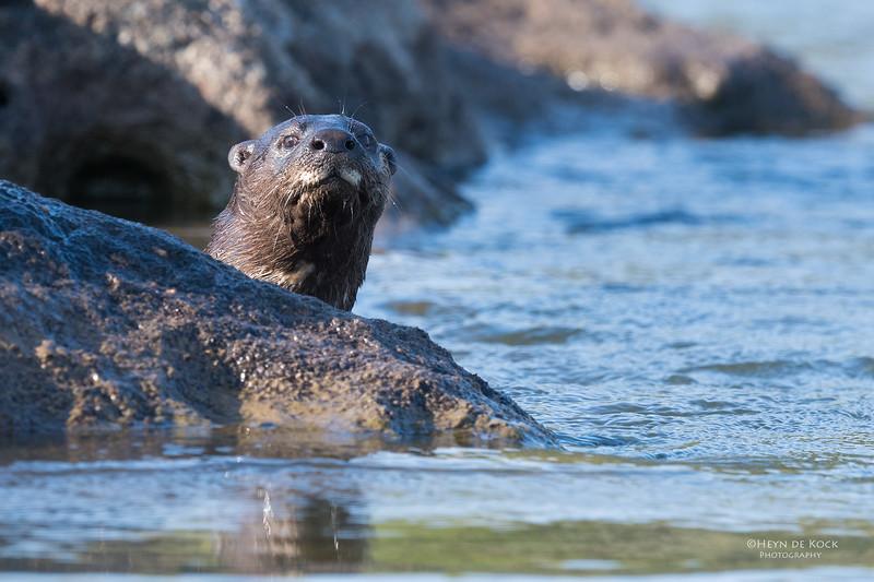 Spot-necked Otter, Chobe River, NAM, Oct 2016-4.jpg