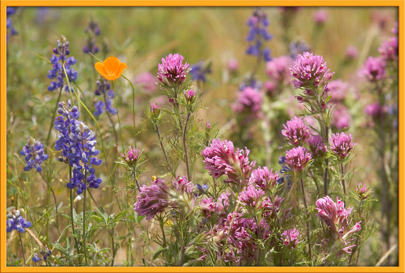 058The Lone Poppy w frame.jpg