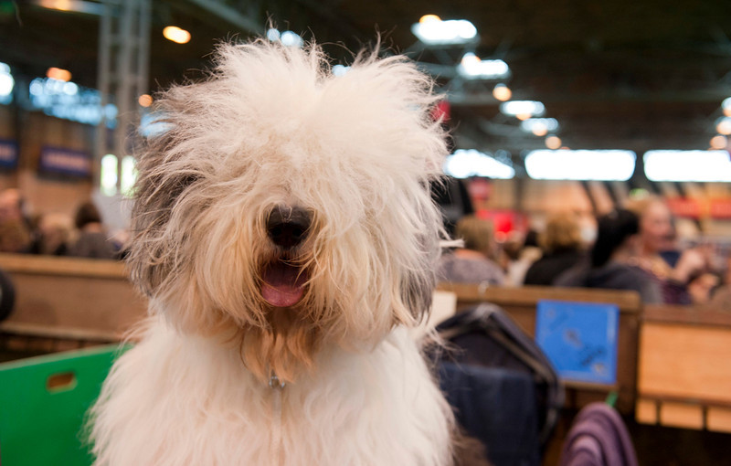 . An English Sheepdog at the Crufts Dog Show 2014 at the National Exhibition Centre in Birmingham, Britain, 06 March 2014. This year, Crufts will be held from 06 to 09 March with over 2,650 dogs from 48 different countries competing with 185 different breeds expected to compete in different categories.  (EPA/WILL OLIVER)