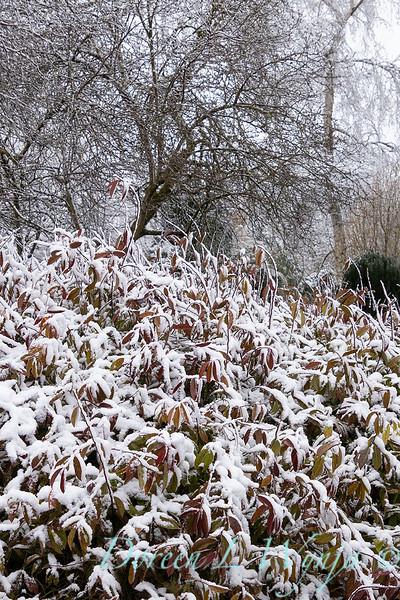 Itea virginica 'Henry's Garnet' in snow_4241.jpg