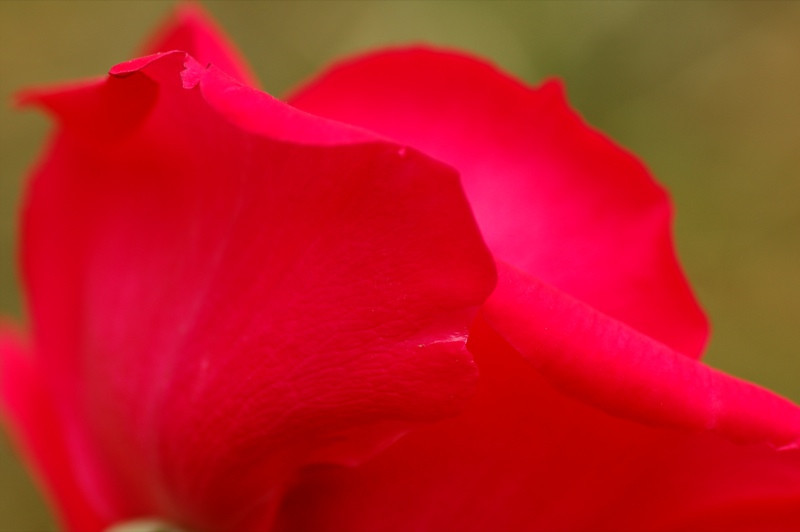 Beautiful Red Rose- Kakheti, Georgia