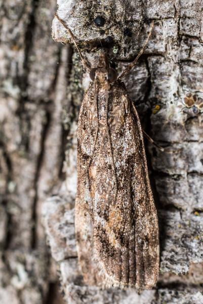Eudonia submarginalis - sod webworm