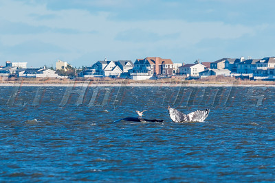 11/22/2016 Moriches Stranded Whale