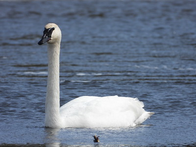 20200314 Geese & Swans