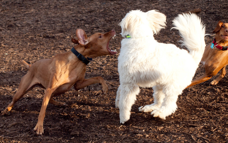 "This was an oh crap moment!!! Ginger is heading in and Scarlet is coming in on the other side in a classic Vizsla Raptor move!!! Yes the white dog jumped straight in the air. Good part, they were really only playing but the poor dogs that are the ""victims"" don't see it quite that way!!! What we don't see is Allie coming in at the other side. Playing VizslaRaptor style."