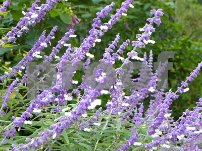 hardy-mexican-bush-sage-likes-it-hot