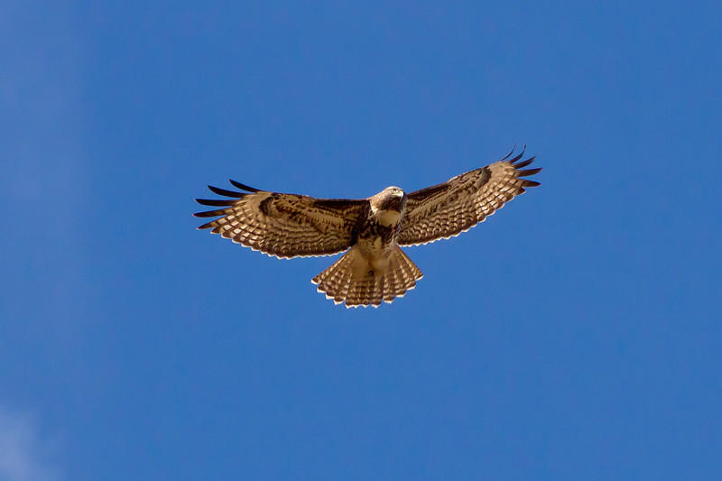 Red-tailed hawk over Fairmont Ridge.