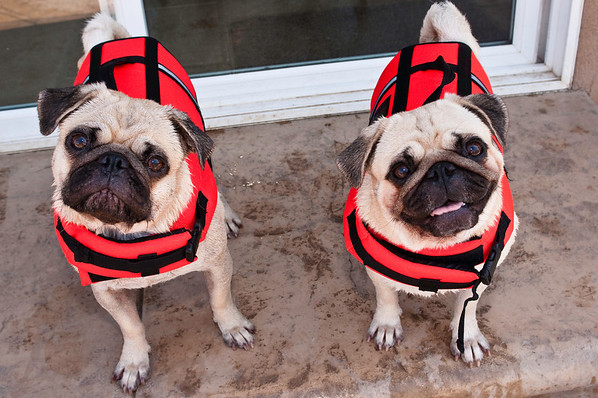Pugs Get Life Vests