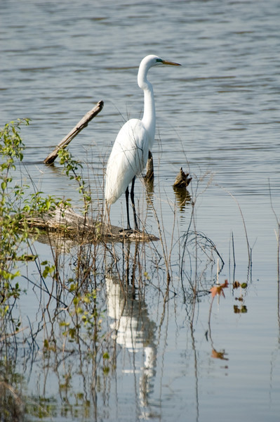 Great Egret - Black legs differentiates GEs from White Morph GBHs (yellow legs)