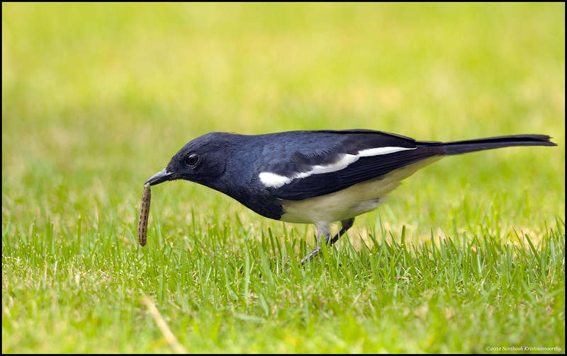 Early bird gets the worm...!....Oriental Magpie Robin...