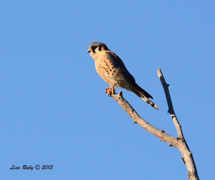 Male American Kestrel - 12/30/13 - San Pasqual Valley Trail