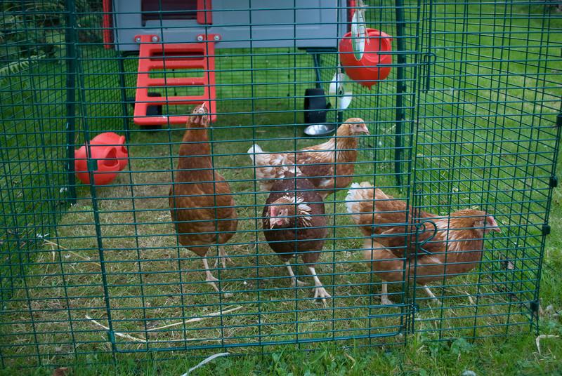 Chickens-5