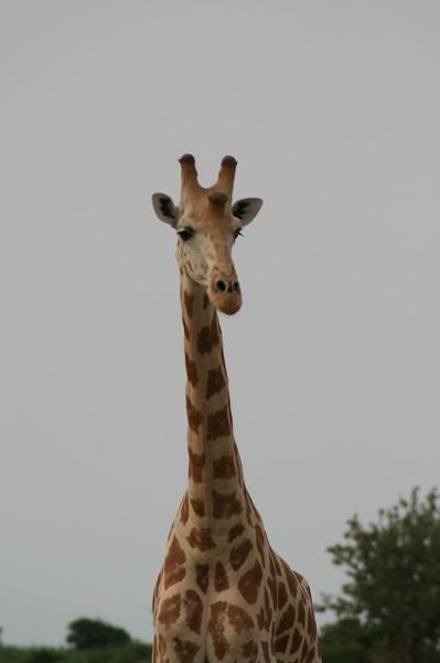 giraffes3-434271750-O.jpg