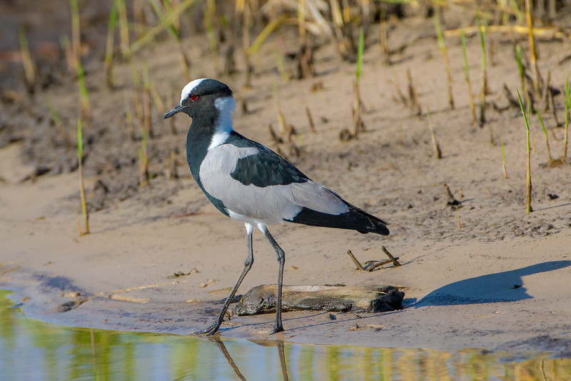 Blacksmith Plover (Vanillas armaturs)