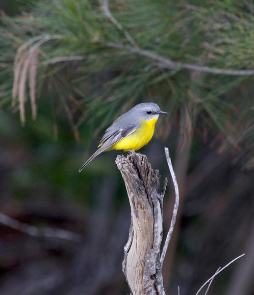 Eastern yellow robin, Caloundra, Australia