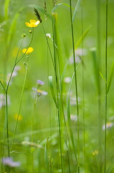 meadow_grasses_buttercup.jpg