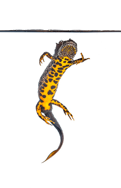 Crested newt