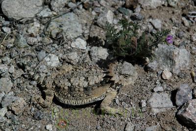 Lizards (Sauria)