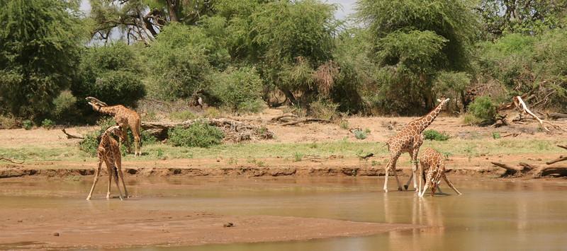 Another species unique to Samburu. The Reticulated Giraffes