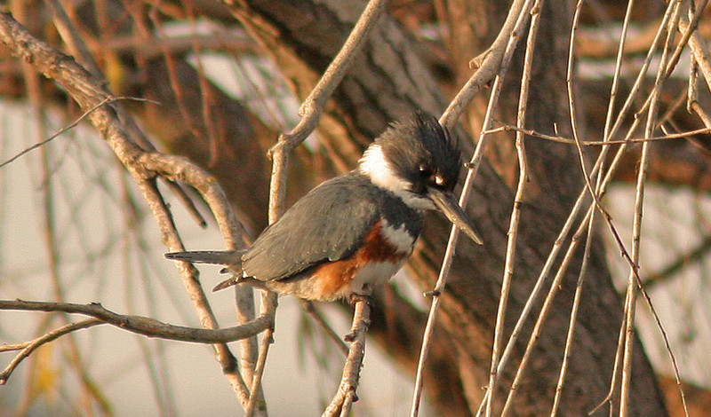 Belted Kingfisher    (Contempo)