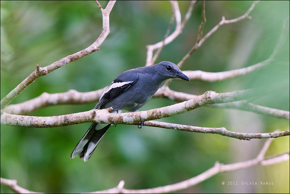 White-winged Cuckooshrike