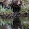 Grizzly Reflection