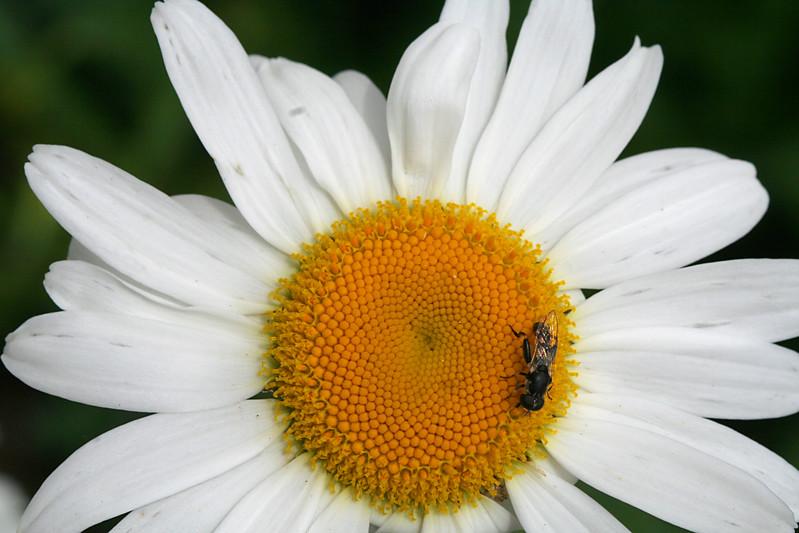 7265 Fly on Daisy.jpg