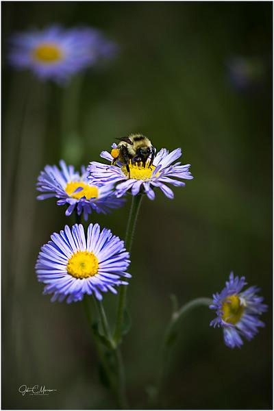 JZ6_3247 Bee LPW.jpg