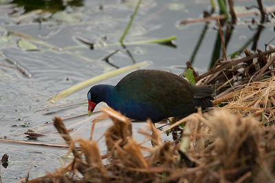 03_Everglades - Purple Gallinule