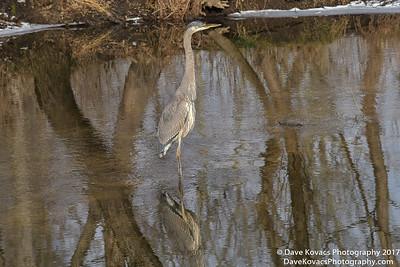 Blue Heron 12-18-17