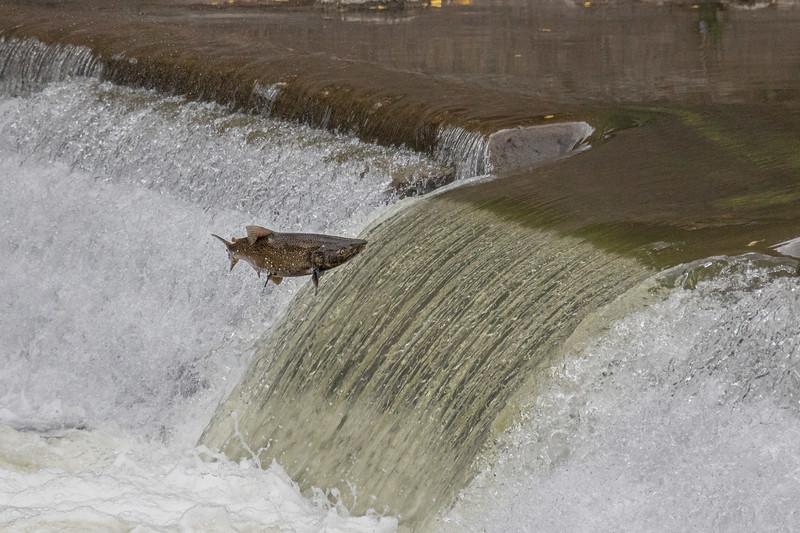 salmon upstream (35 of 48).jpg