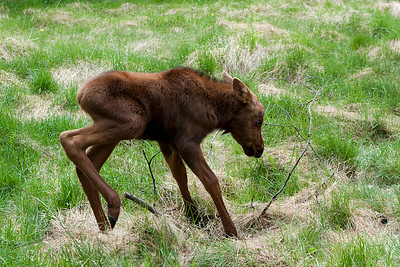 ORPHANED MOOSE VISITOR