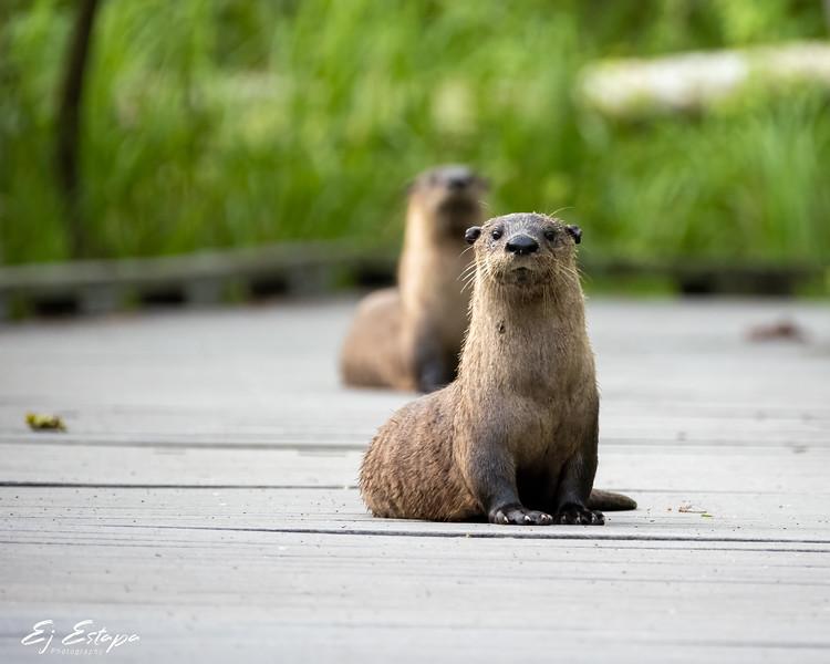 otters_BP_0521.jpg