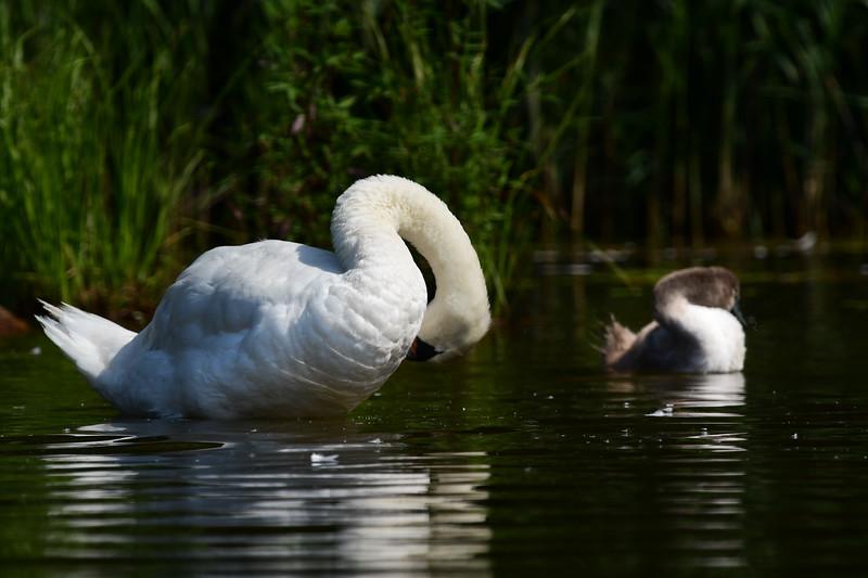 *2018-08-29 Monksville Reservoir - Swans-untitled (165 of 226)-007.jpg