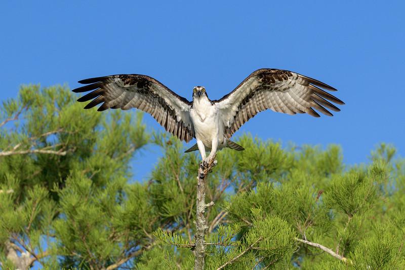 2021_KSMetz_Florida_Osprey Trip_April07_NIKON D850_4950-Edit.jpg
