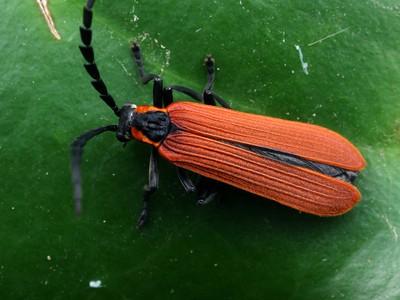 zz Unplaced beetles