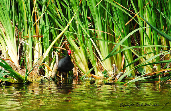 Coots, Gallinules & Such