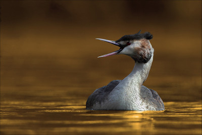 Toppdykker - Great crested grebe